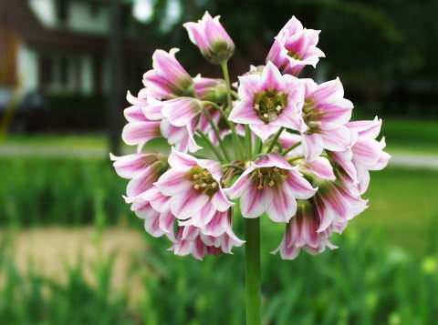 нектароскордум медовая лилия