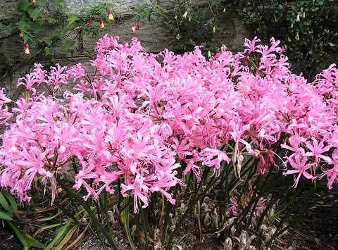 Нерина цветок