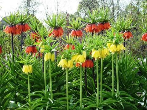 Рябчики императорский цветы 40