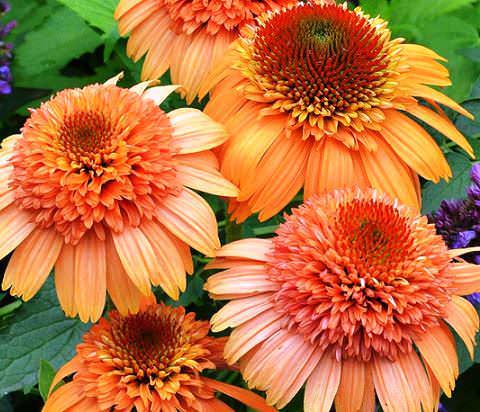 Marmalade Orange фото