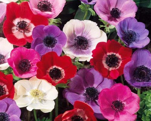 Фото цветов анемоны