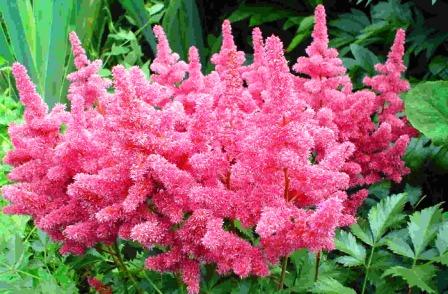 Цветок астильба фото