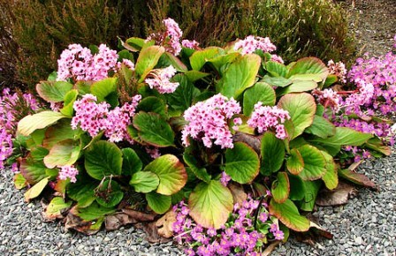 Цветок бадан в саду фото