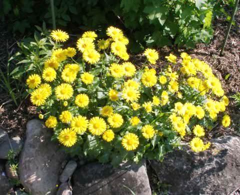 цветы дороникум фото