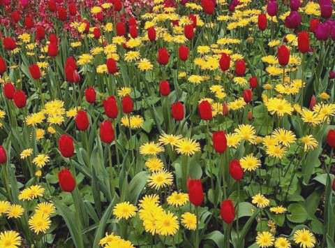 Дороникум с тюльпанами фото 5