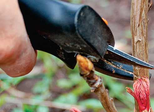выращивание древовидного пиона