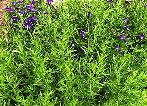эстрагон из семян фото