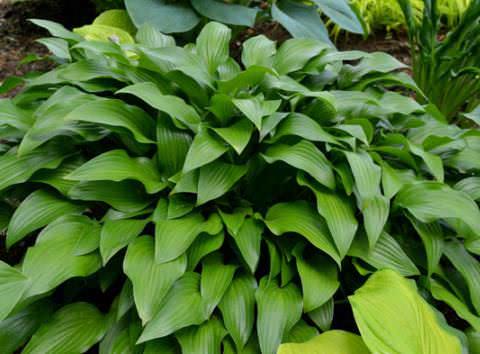 H. lancifolia