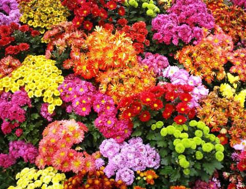 выращивание хризантемы многолетней