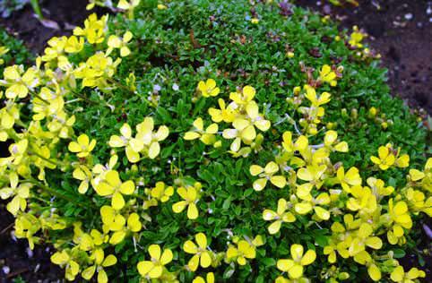 Желтушник карликовый фото