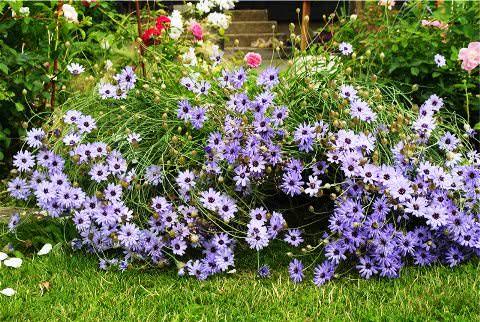 Выращивание катананхе голубой фото