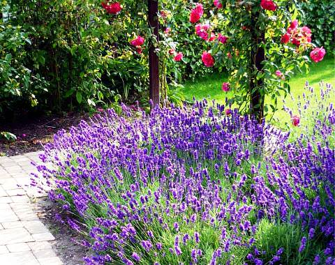 долгоцветущие многолетники для сада фото