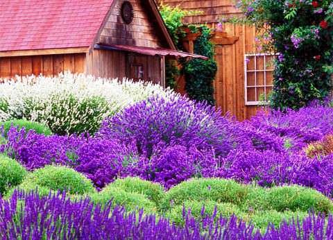 Лаванда в саду фото