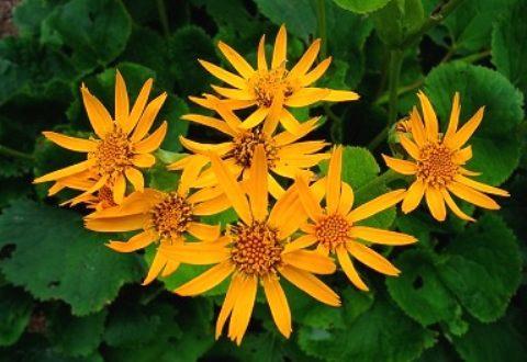 Бузульник. Выращивание и использование в саду Перегной из Листьев
