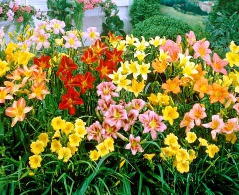 Цветок лилейник посадка и уход, фото, выращивание и сорта; красоднев 20