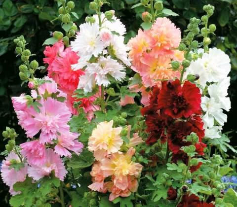 выращивание шток розы