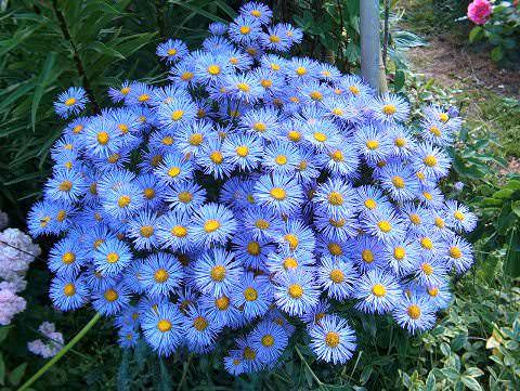 Мелколепестник цветок фото