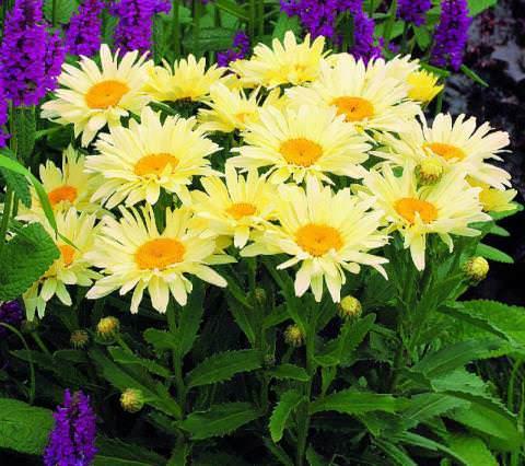 садовые многолетние ромашки фото