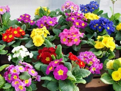 Фото цветов комнатных многолетних