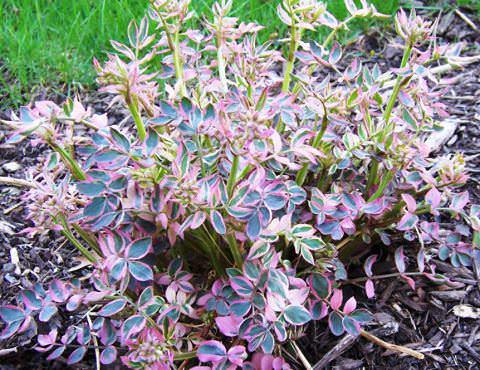 Растение синюха голубая