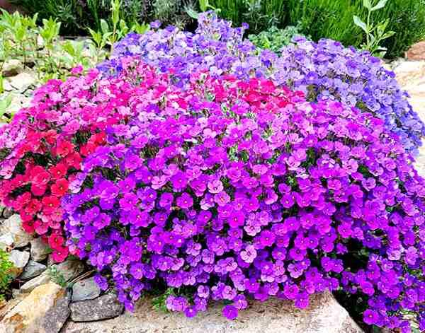 обриета фото цветов