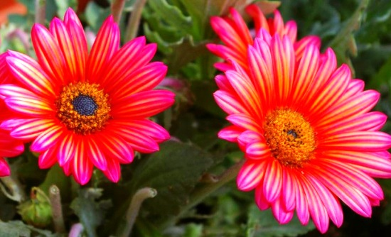 цветок арктотис фото 3