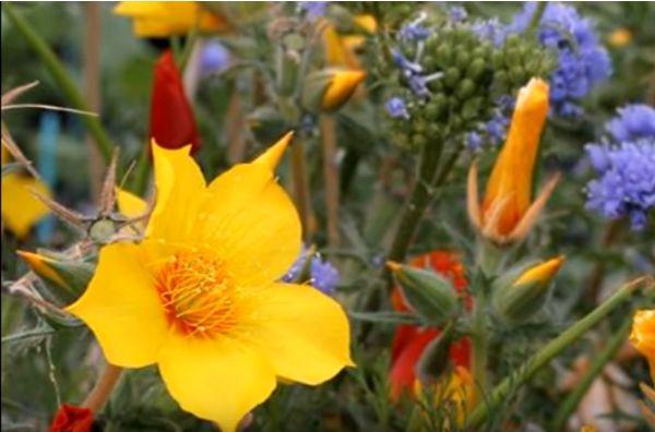 Цветок Бартония в саду