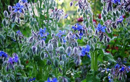 Однолетнее растение. Огуречная трава. Фото 4