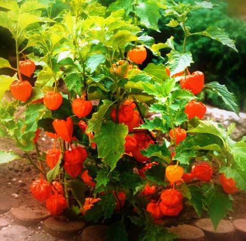 физалис уход и выращивание из семян