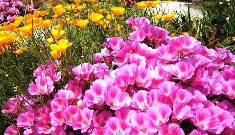 Цветущая годеция фото 2
