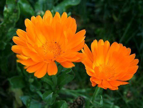 Цветы календула фото 1