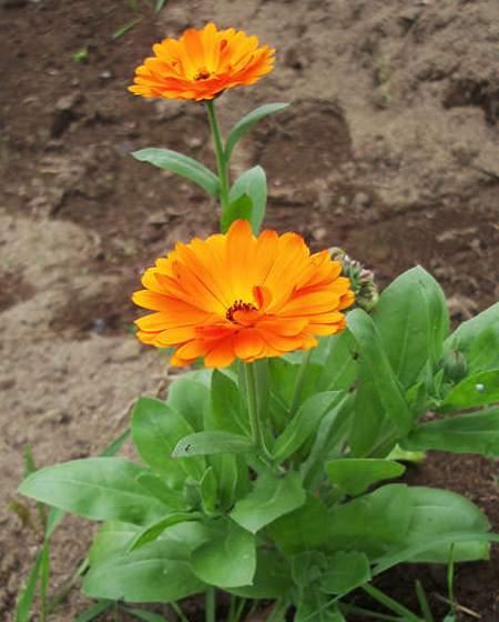 Цветок календула фото 2