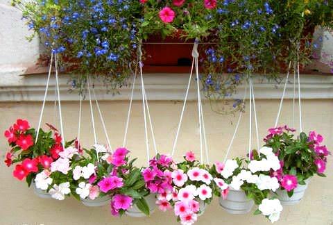 Катарантус фото цветов в клумбе