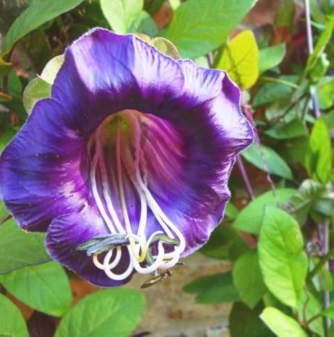 Кобея лазающая цветок фото 1