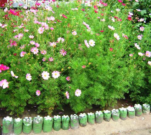 Цветы космея фото