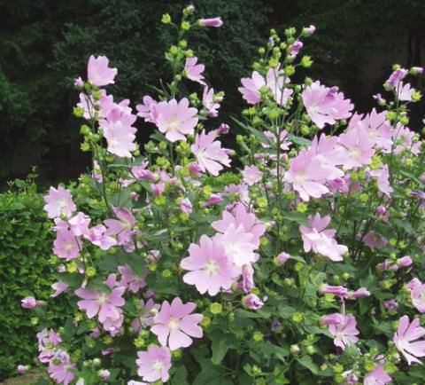 лаватера цветок фото