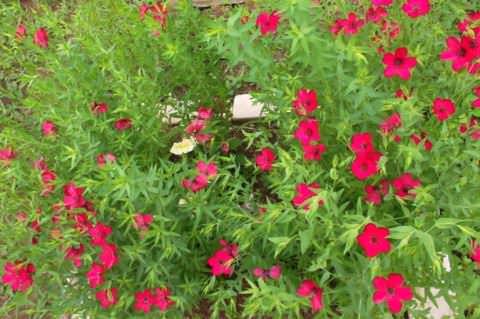 Цветок лён фото 4