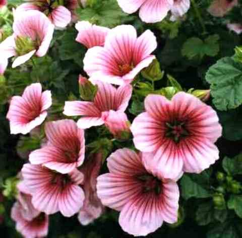 Цветок малопа