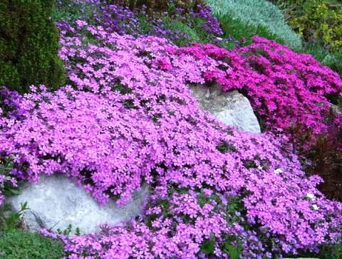 цветы мыльнянка лунная пыль фото 4