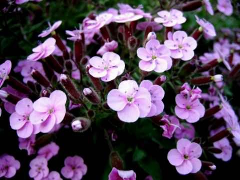 Фото 3. Цветок мыльнянка