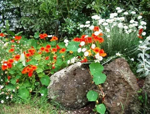 Настурция в саду фото