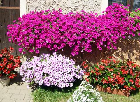 условия выращивания петунии