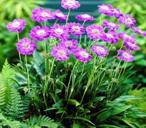 скабиоза пурпурная фото