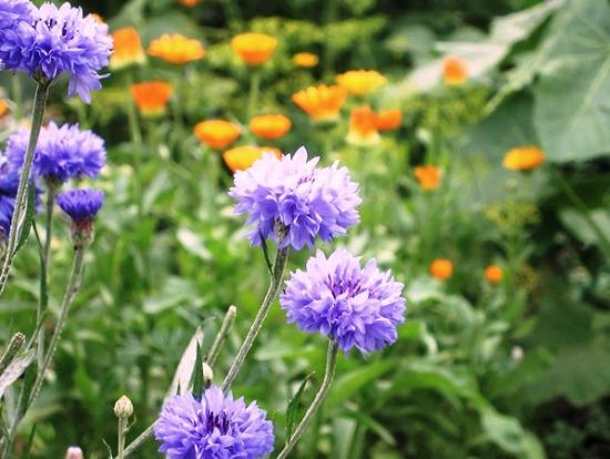 Фото цветов васильков