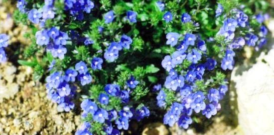Цветы вероника фото 2