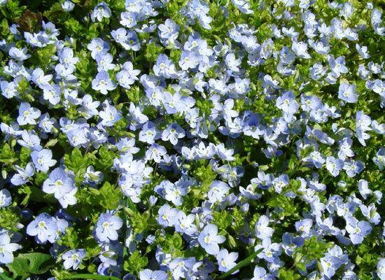Цветок вероника фото 1