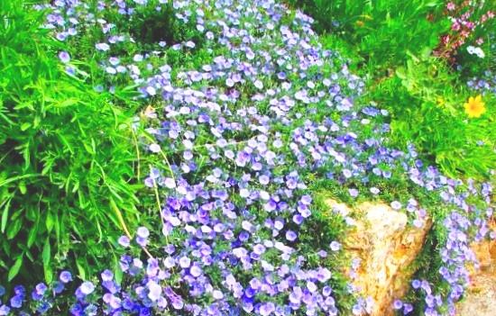 Цветок вьюнок фото