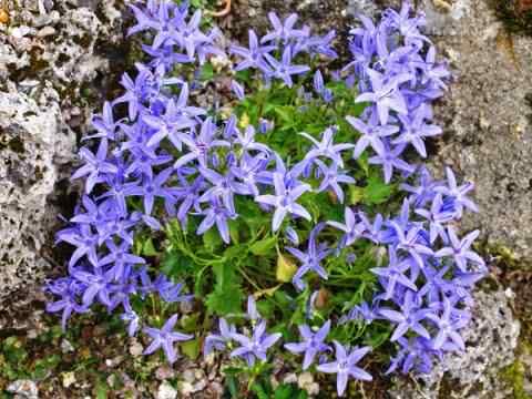 цианантус цветок фото