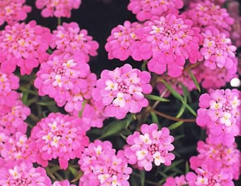 Иберис многолетний фото 1