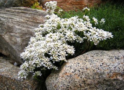 Иберис среди камней фото 2